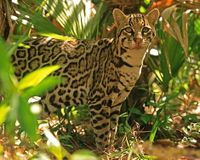 Arizona- Protect Endangered Ocelot from Mining