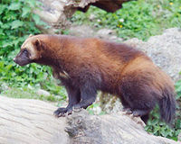 Give Federal Endangered Species Protections to the Wolverine.