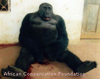 Cameroon, Stop Senseless Killing of Cross River Gorillas