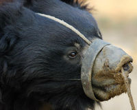 Stop Sloth Bear Torture in India
