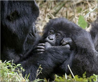 Save Endangered Gorilla Habitat