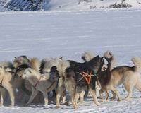 Prosecute for the senseless slaughter of 100 Sled Dogs!