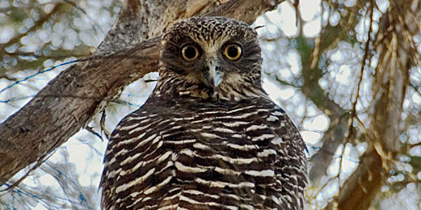 Help save the Powerful Owl from extinction
