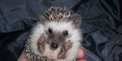 Hedgehogs legal in CA