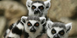 LEMURS NAMED WORLDS MOST ENDANGERED MAMMALS
