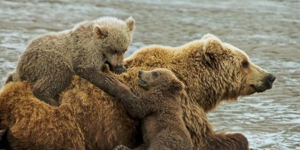 Send Orphaned Grizzly Cubs To A Rehabilitation Center or Sanctuary.....Not a Zoo!