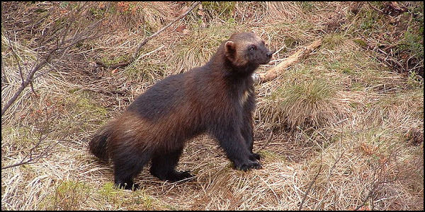 List Wolverine as Endangered Species