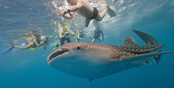 people swimming with a whale shark