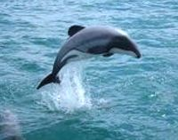 Save Rare and Critically Endangered New Zealand Dolphins