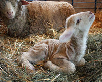 Stop Painful Mutilation of Lambs