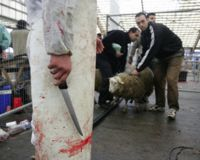 people bringing sheep in,to get it's throat slashed without anaesthesia