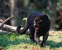 SAVE THE BLACK JAGUAR