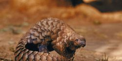 Vietnam - Stop the Illegal Trade in Pangolins