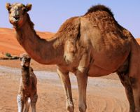 Australia: End the Camel Cull