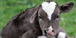 Stop The Shocking Abuse of Calves in Quanah Cattle Colorado Facility