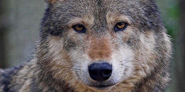 Tell Idaho to get its hired gun out of the River of No Return Wilderness and Stop Killing Wolves