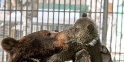 stop the government from evicting rescued bears