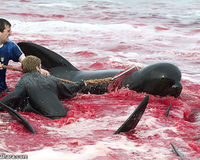 Stop the Calderon Dolphin Slaughter in Denmark