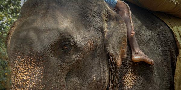 Kanakota the elephant