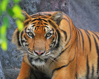 Protect Tigers and Humans, Stop Illegal Logging in Sumatra