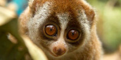You Tube: remove clips of captive slow lorises
