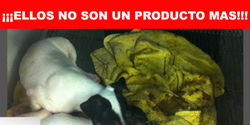 """STOP Animal Sales at Homecenter Sodimac Stores in Chile"""