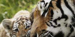 Save the Siberian Tiger from Extinction