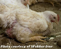 Tell the Chicken Industry: Stop Putting Profits Above Animal Welfare