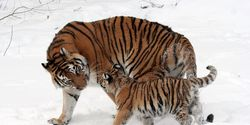 Save the tiger in the Far East, the largest of the tigers and the northernmost !