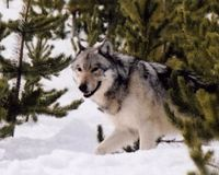 Don't Let Minnesota's Wolves be Hunted and Trapped for Sport