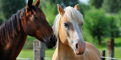 Pass the American Horse Slaughter Prevention Act to ban the barbaric butchering of American horses