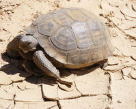 List Desert Tortoise as Endangered