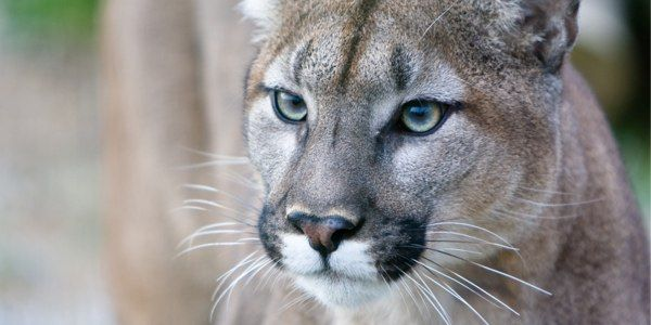Save Panthers from Massive Oil Exploration