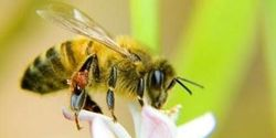 Help bees by avoiding pesticides and planting flowers