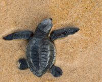 Tell Fish and Wildlife Services: Protect Sea Turtles