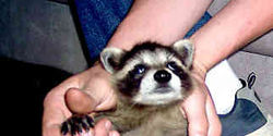 POLICE AND ANIMAL CONTROL...STOP KILLING RACCOONS