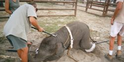 LOOK WITH EYES WIDE OPEN, WHAT THEY DO TO OUR ELEPHANTS!