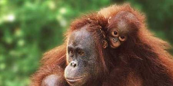Please Protect Orangutans