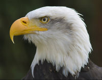No Permits to Kill Bald Eagles