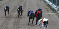 Tell the UK Government: Ban Greyhound Racing!