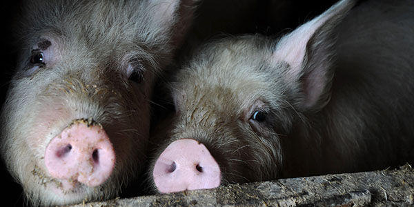 Compassion Isn't a Crime: Giving Thirsty Pigs Water Isn't a Crime