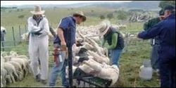 Australia- Stop Painful Surgical Mutilation of Lambs