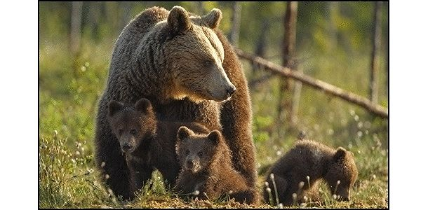 Protect Canada's Grizzly Bears
