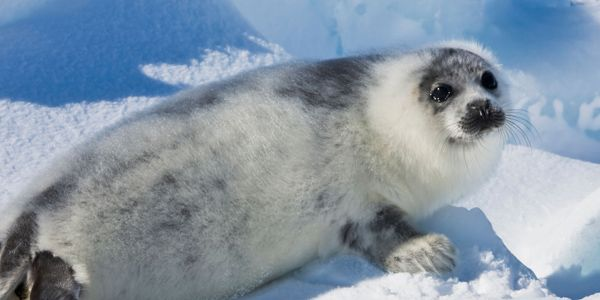 Save Seals: Urge Canada to Stop Seal Slaughter with a Federal Buyout
