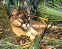 Prevent Florida Panther Traffic Collisions with Technology