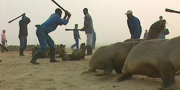 People beating seal pups