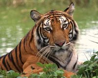 Thailand- Don't Destroy the Tiger's Last Intact Habitat