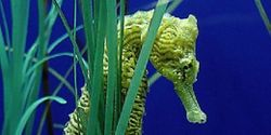 Protect seahorses in Cambodia from dynamite fishing