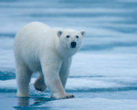 Save the Arctic National Wildlife Refuge and its Polar Bears