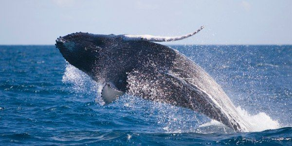 Protect Whales and Dolphins From Sound Bombs